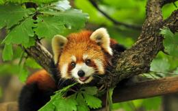 red panda new red panda animal images red panda desktop 1784