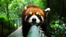 cute red panda wallpapers 36328 1920x1080 jpg 195