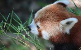 Red panda wallpaper 1870
