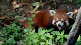 Red panda wallpaper 1920x1080 240