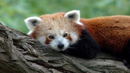 Red panda wallpaper 1656