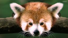 Red panda wallpaper 1920x1080 745
