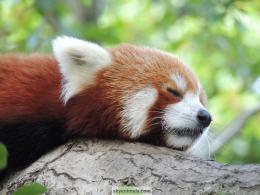 Free Red Panda Wallpaper Images 824