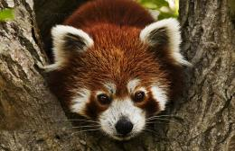 red panda iphone wallpaper red panda wallpaper red panda wallpaper 687