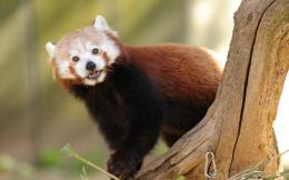 Red panda 3 1280x800 wallpaper download page 303209 195
