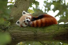 Description Red Panda in a Tree Y A W N I N G! jpg 1657