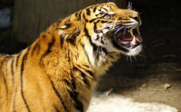 Tiger Roaring Wallpapers 1712