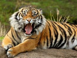 bengal tiger roaring hd desktop wallpapers of high resolution full 592