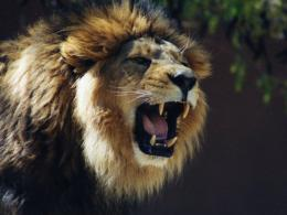Tag: Lion Roaring Wallpaper s, Images, Photos and Pictures for free 1208
