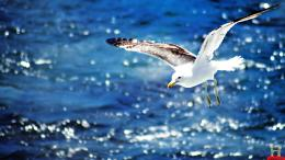 Beautiful Flying Seagull HD Wallpaper 512