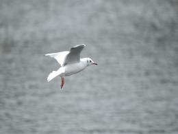 : Seagull Bird Wallpapers, Seagull Bird DesktopWallpapers, Seagull 1090