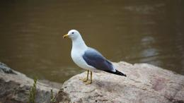 Seagull Standing on Rock Wallpapers HDAnimals 1234