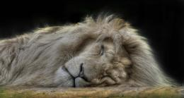 Sleeping Lion Desktop HD Wallpapers 791