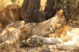 Pics of lions sleeping 1090