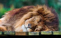 SLEEPING LION 826