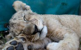 Sleeping Lion HD Wallpapers 230