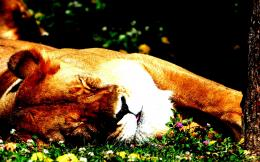 Lion sleeping grass Language Animals 1323