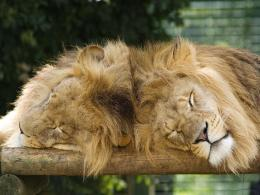 animals lion sleeping wallpaper of sleeping lion lion cub sleeping 1151