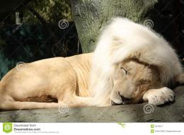Sleeping Lion Cub Full Hd Wallpaper 1080p Wallpapers Blog Picture 1683