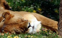 sleeping lion hd wallpaper sleeping lion top hd desktop wallpaper 509