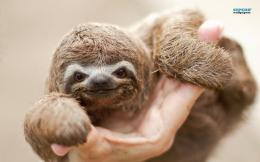 Sloth baby wallpaper 1280x800 980