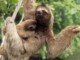 Sloth Wallpaper 1230