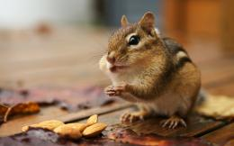 Squirrel Like animal HD Wallpaper and make this wallpaper for your 1865