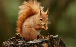 Squirrel Desktop Wallpapers 1175