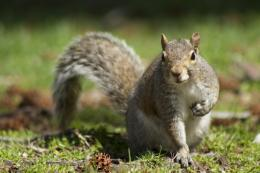 Cute squirrel desktop wide wallpaper 691
