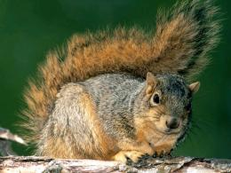 Animal Squirrel Wallpaper & Desktop Backgrounds 1151