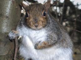 Grandfather Squirrel in TreeAnimal Background1024x768 pixels 971