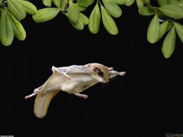 flying squirrel 1600x1200 Free Wallpaper For Desktop Flying Squirrel 1039