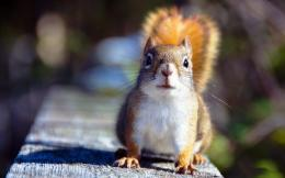 Tagged with: Squirrel Wallpaper Squirrel Widescreen Wallpaper 692