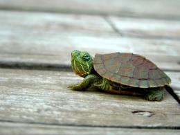 Turtle Desktop Wallpaper 1810