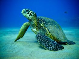Green Sea Turtle 591