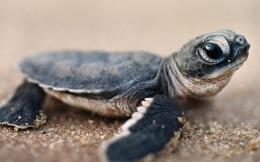 Baby Turtle Wallpapers Pictures Photos Images 840