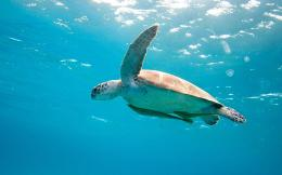 Sea turtle Wallpapers Pictures Photos Images 224