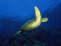1600x1200 Sea turtle desktop PC and Mac wallpaper 1552