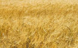 Wheat field wallpaper 1026