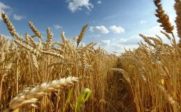 Dry Golden Wheat Field Blue Sky HD Wallpaper 1490