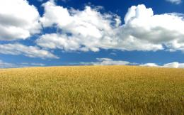 Download Wheat field wallpaper 823