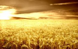 Download Wheat field 1920x1200 Wallpaper 1781