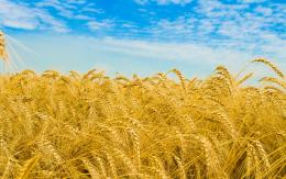 Wheat field wallpapers | Wheat field stock photos 1850
