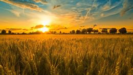 Wheat Field Hd For Free Wallpaper with 1366x768 Resolution 1205