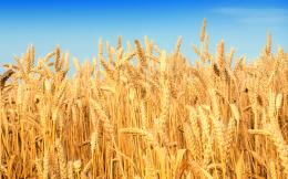 Wheat FieldWallpaper #28614 590