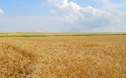Wheat field wallpaper 663