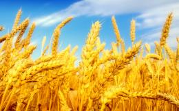 Wheat FieldWallpaper #28621 1588