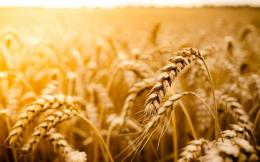 Macro Wheat Field Sun Nature 598