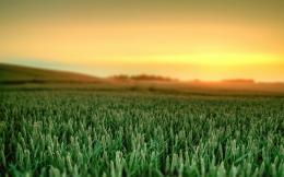 wheat fields hd wallpaper jpg 766