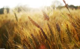 Wheat Field Wallpaper Picture 1360